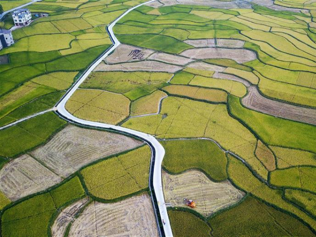 Farmer harvest rice in China's Guizhou