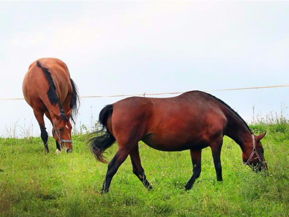 Retired racehorses graze on pasture in Belarus