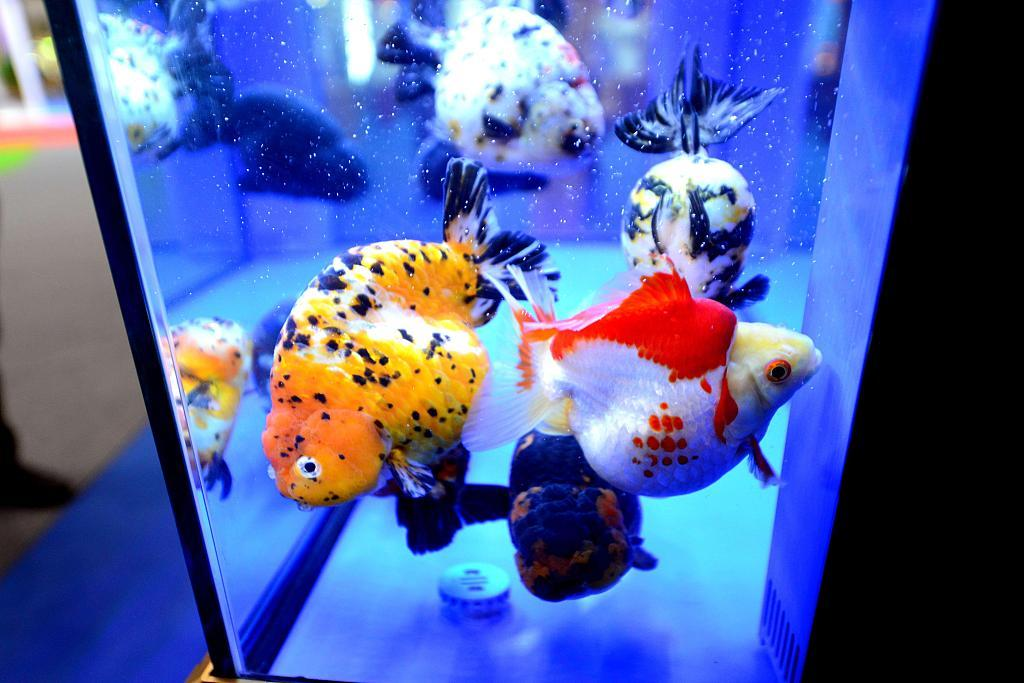 Goldfish attract visitors' attention at Fuzhou event