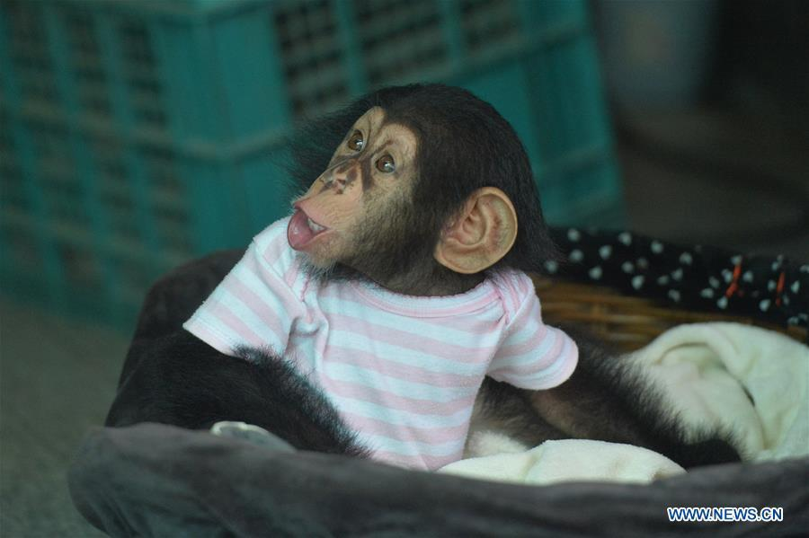 In pics: baby chimpanzee at Crocodile Farm and Zoo in Thailand