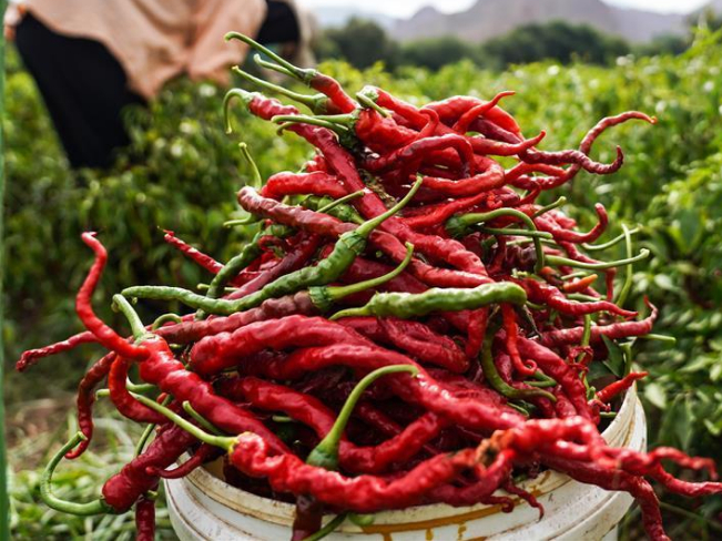 Chilies enter harvest season in Tiangai Village, NW China