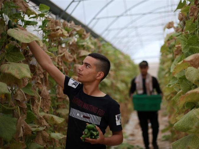 Palestinian farmers pick vegetables in Jalameh village