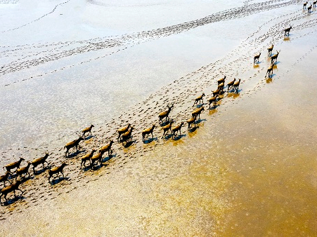 Elks gallop on Yellow Sea wetlands in East China's Jiangsu