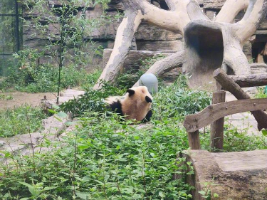 Rolling habit creates 'baldness' in Beijing panda