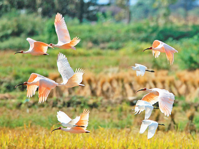 The Crested Ibis making a comeback in the Qinling Mountains