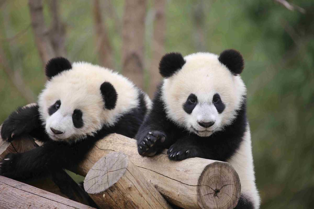 Qinling panda center to open by end of this year