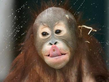 Young orangutan has fun in rainy day
