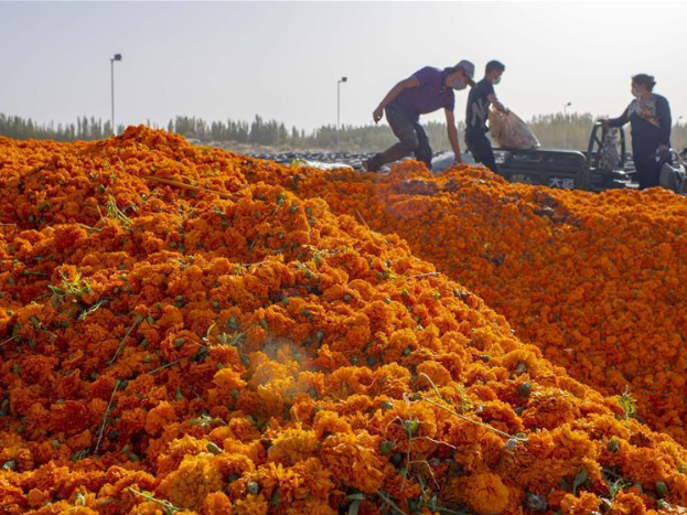 County in Xinjiang accelerates poverty alleviation by planting marigold