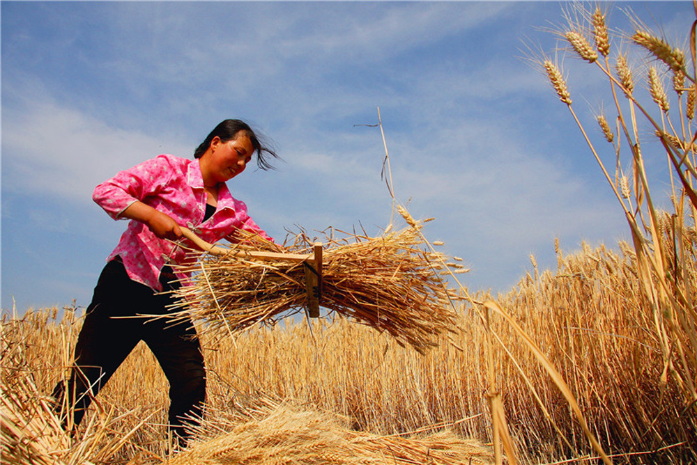 In pics: China embraces bumper harvest of multiple crops
