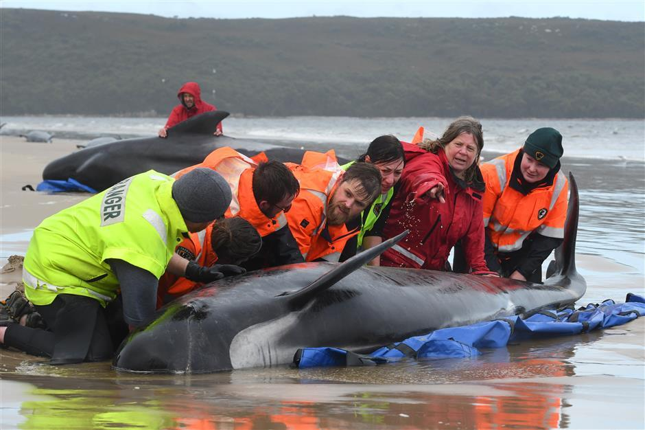 Rescuers battle to save marooned pilot whales