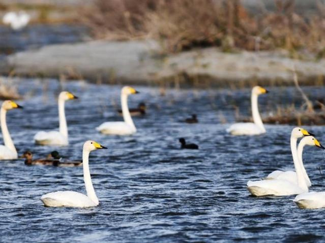 Number of migrant birds increases in Ulungur Lake National Wetland Park