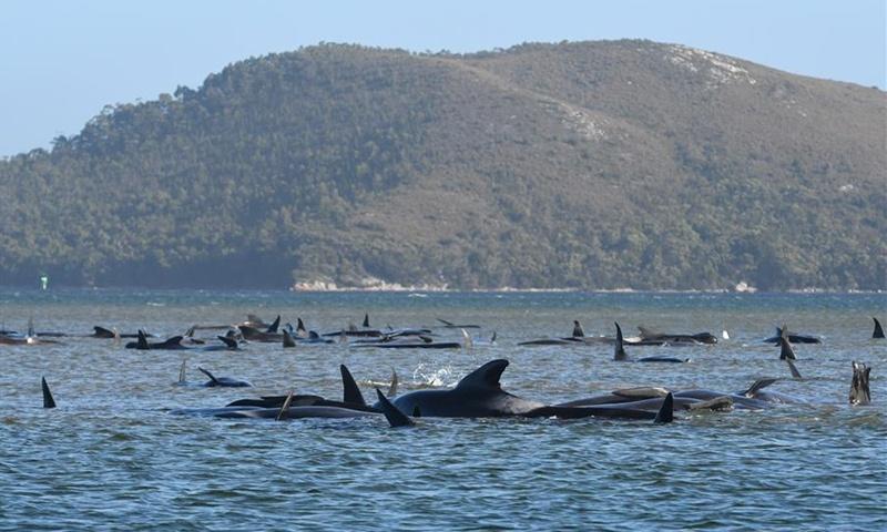 Whale rescuers face grim task in Australia mass stranding