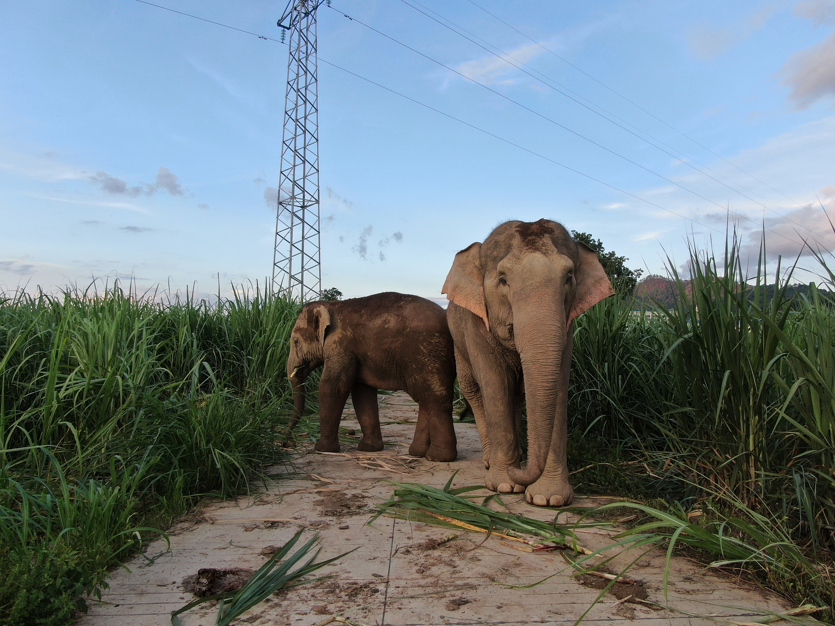 Chinese companies develop smart collar to reduce human-elephant conflict