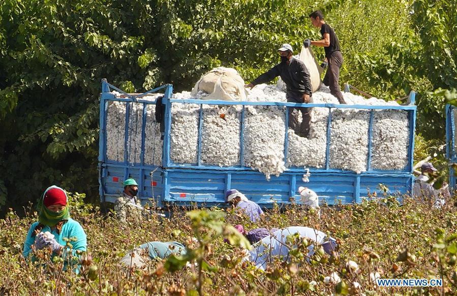 Workers harvest cotton in Syrdarya region, Uzbekistan