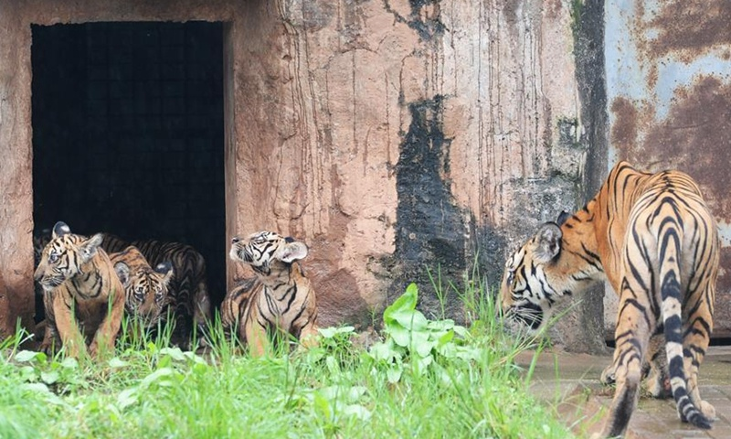 South China tiger cubs make first public appearance at Changsha Ecological Zoo