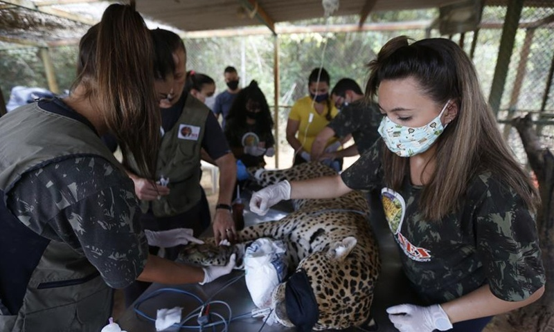 Wounded leopards receive treatment as fires continue to rage Brazil's Pantanal wetlands