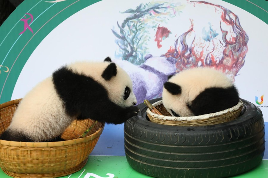 Panda cubs appear in Chengdu ahead of holidays