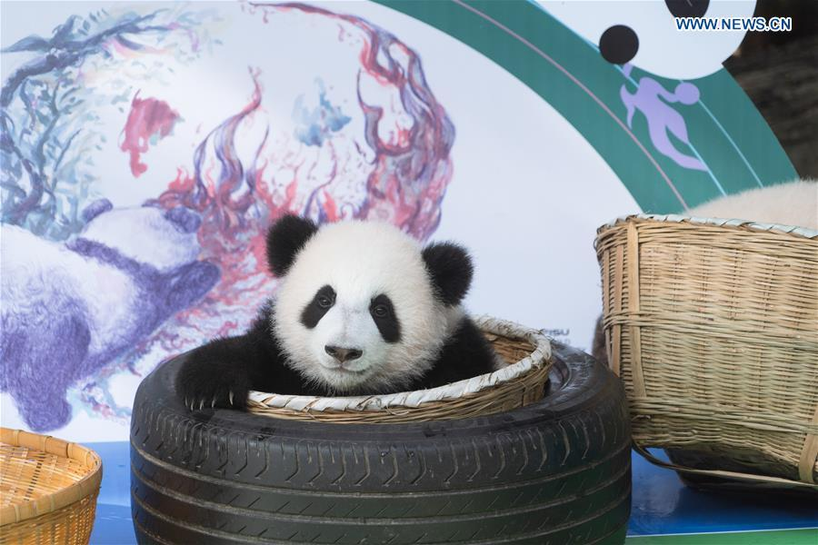 Giant panda cubs make debut in Chengdu