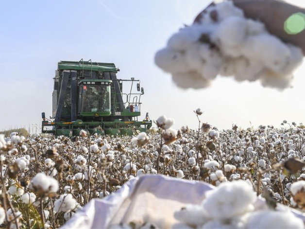 China's largest cotton growing area enters harvest season