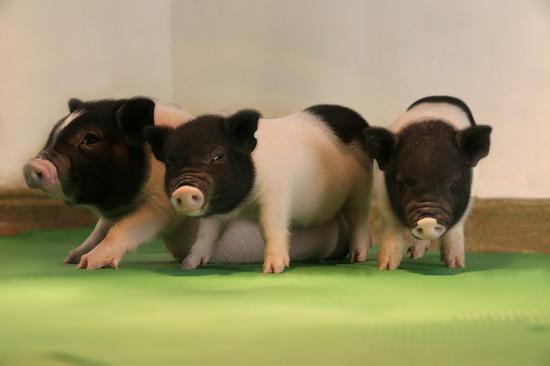 Chinese-led team makes breakthrough in animal-to-human transplant research