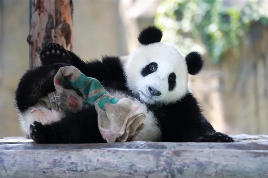 Panda cub gets his name ahead of birthday