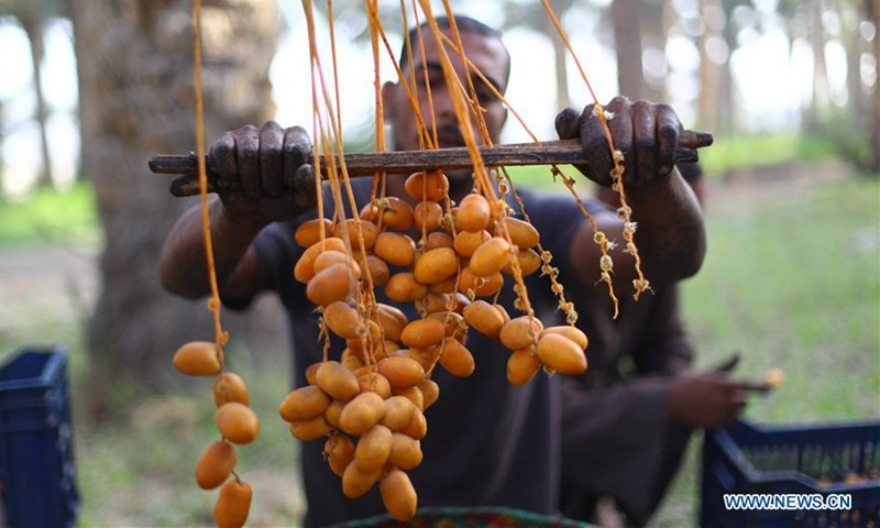 Farmers harvest dates in Dahshour village in Giza, Egypt