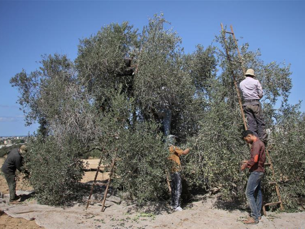 Palestinians collect olives during harvest season