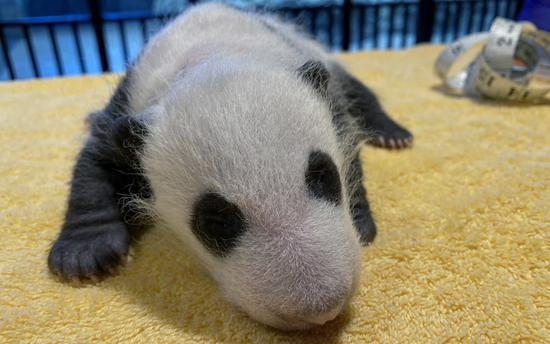 'It's a Boy!' US zoo reveals sex of giant panda cub