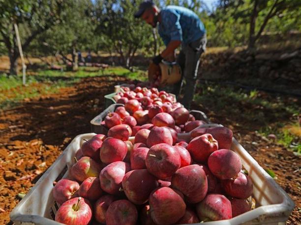 Residents harvest apples in Tannourine, Lebanon