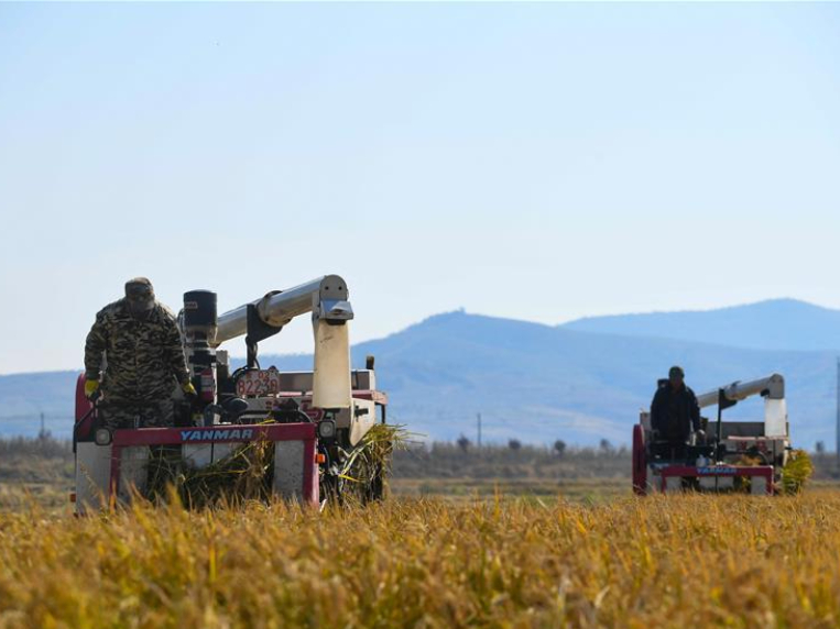 Farmers harvest rice in Jilin