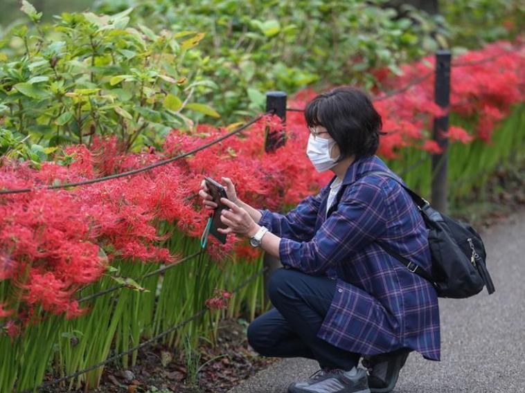 Visitors enjoy Lycoris radiata at Gongendo Park in Saitama Prefecture of Japan