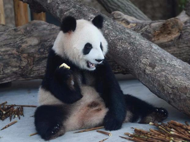 Giant pandas from Chengdu Research Base of Giant Panda Breeding make their debut in Hunan