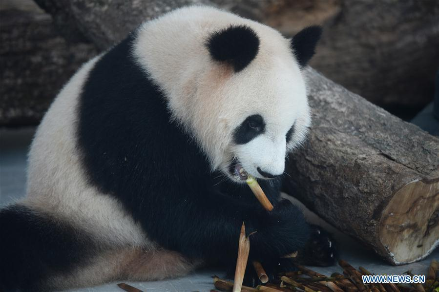 Giant pandas make debut in Hunan