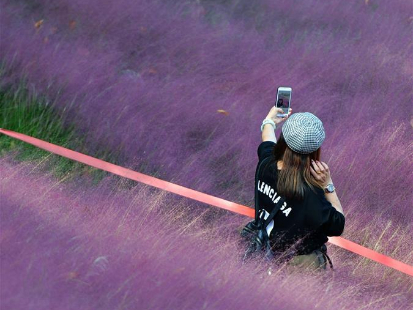 Tourists stroll in field of pink muhly grass in Fuzhou