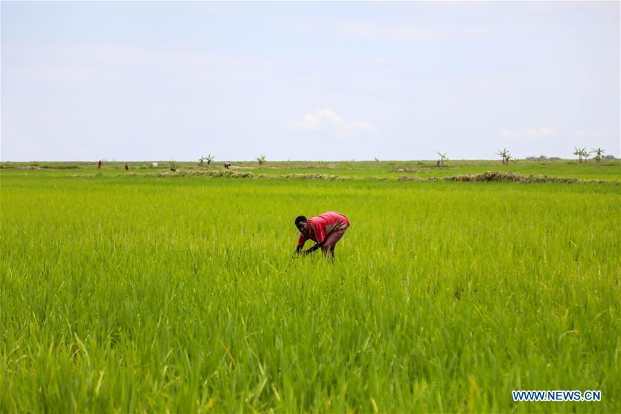 Chinese-owned rice farm skills farmers in rural Uganda to boost household incomes
