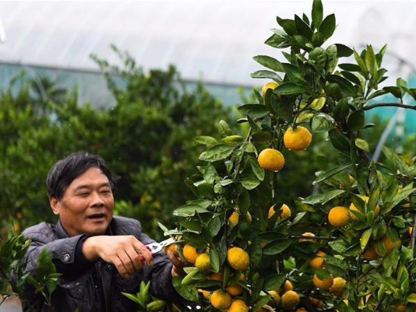 Citrus fruit enters harvest season in Jiande, E China