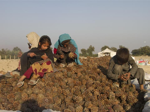 People harvest pine nuts in Jalalabad city, Afghanistan