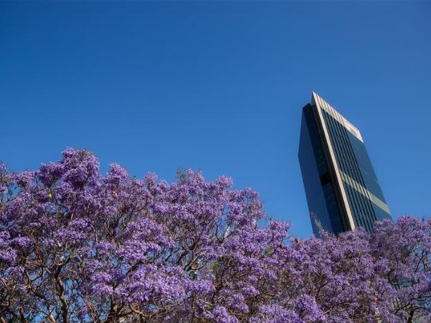 Jacaranda blossoms in Sydney, Australia