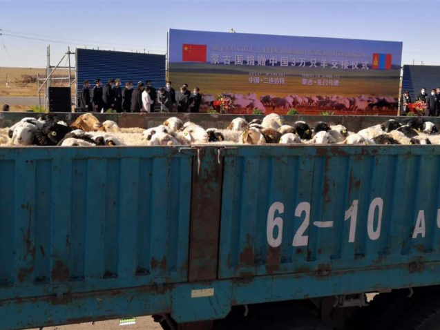 Mongolian sheep are coming: First batch of donated sheep arrives in China