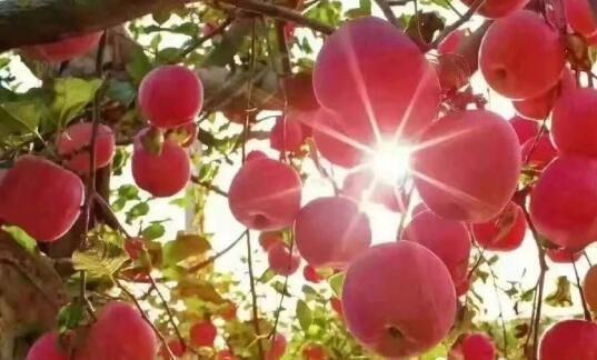 Shaanxi's Development: Apples reduce poverty