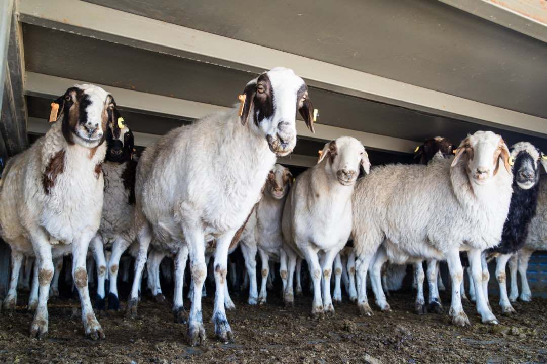 First batch of 4,000 sheep donated by Mongolia arrives in North China border city