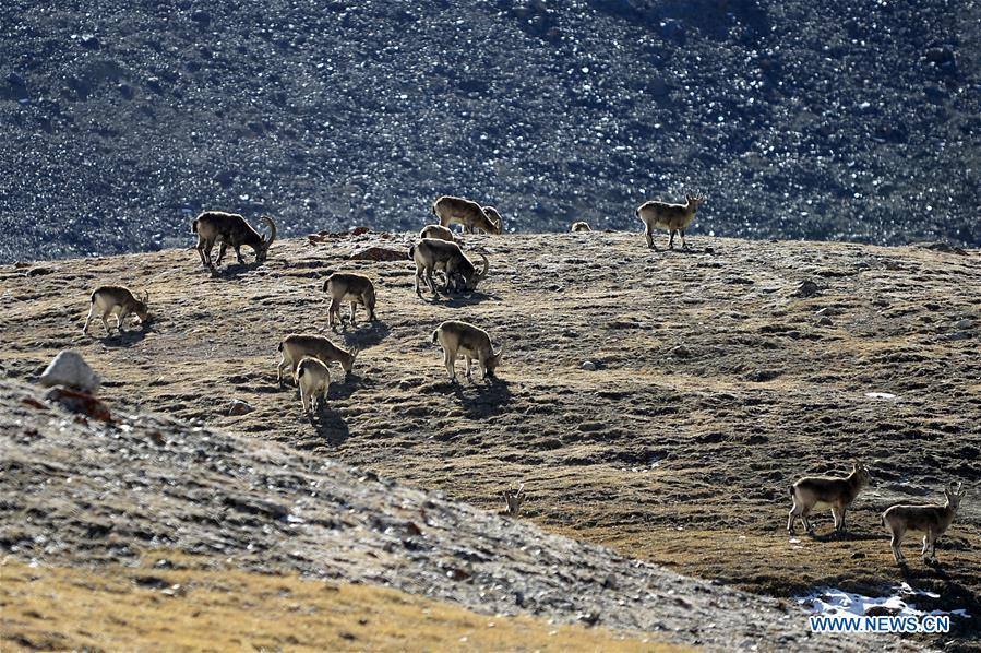 Ibexes seen at Khunjerab National Park in Pakistan