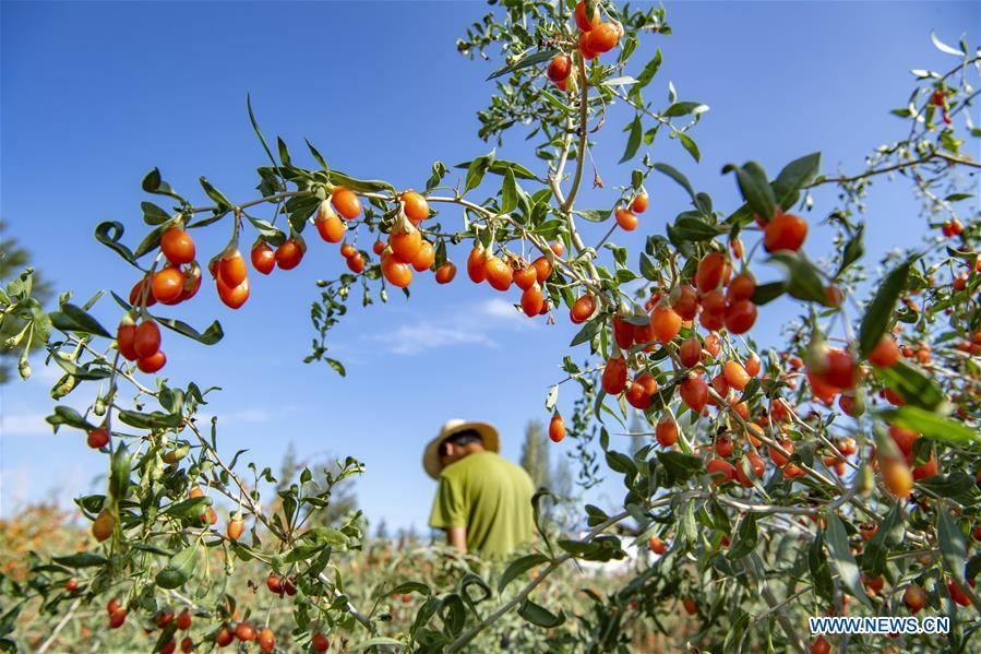 Xinjiang embraces harvest season