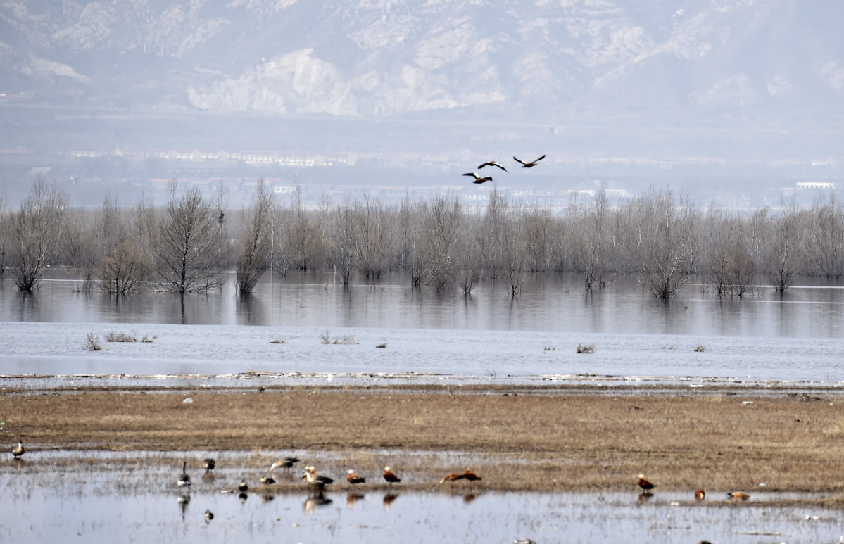 North China nature reserve sees over 10,000 migratory birds