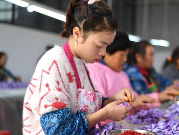 Farmers work for seasonal job at saffron crocus planting base in Guizhou