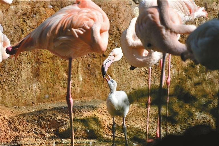 Parent-child time for flamingos