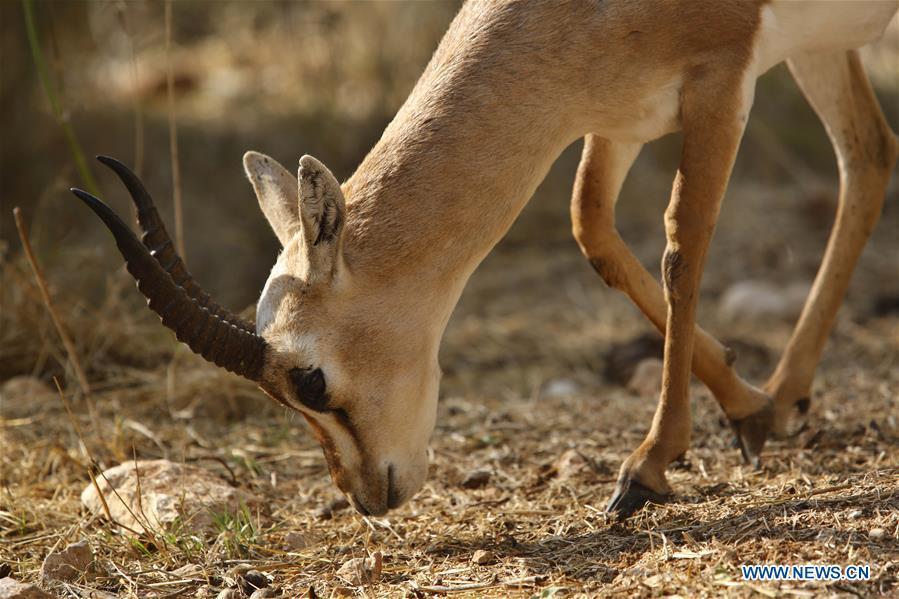 Gazelles seen inside Gazelle Valley in Jerusalem
