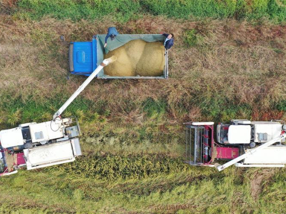 Farmers harvest paddy rice in Nanchang