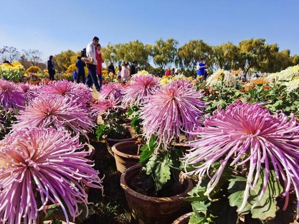 Tourists visit chrysanthemum park at Luanxie Village in Shahe, Hebei