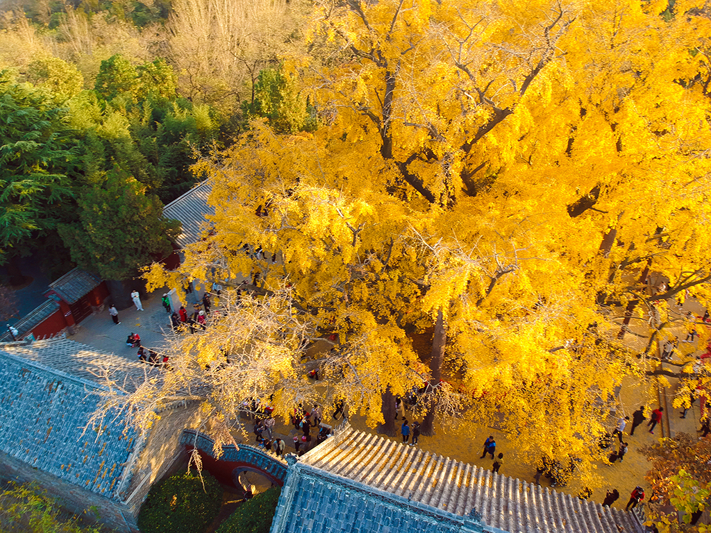 4,000- year-old ginkgo tree in East China's Shandong attracts visitors